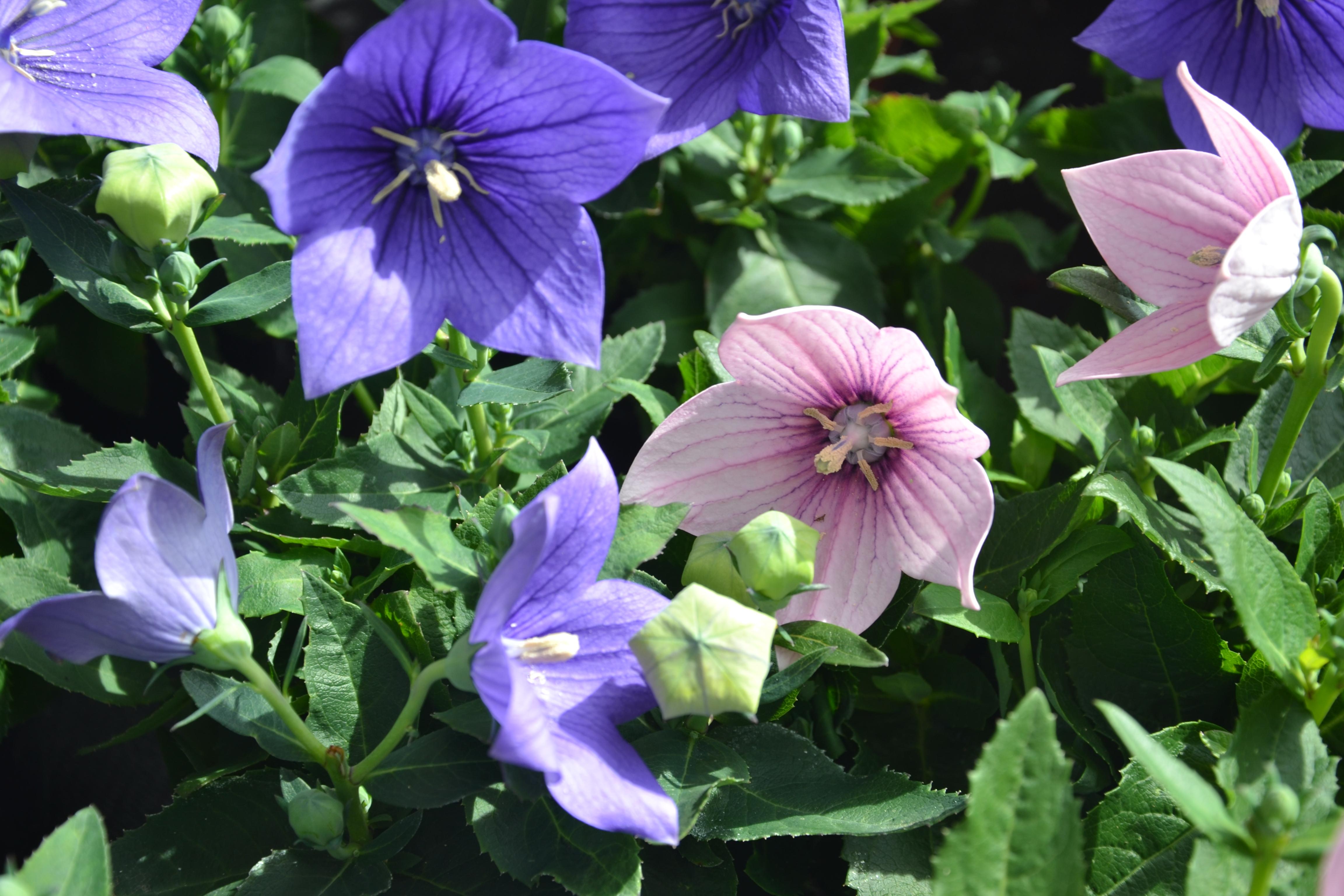 Ballonblume (Platycodon)   Die ballonartigen, aufgebläht erscheinenden Blütenknospen gaben der asiatischen Staude ihren Namen. Sie gehört zu den Glockenblumengewächsen und erfreut uns mit ihren großen blauen oder lila Blüten.