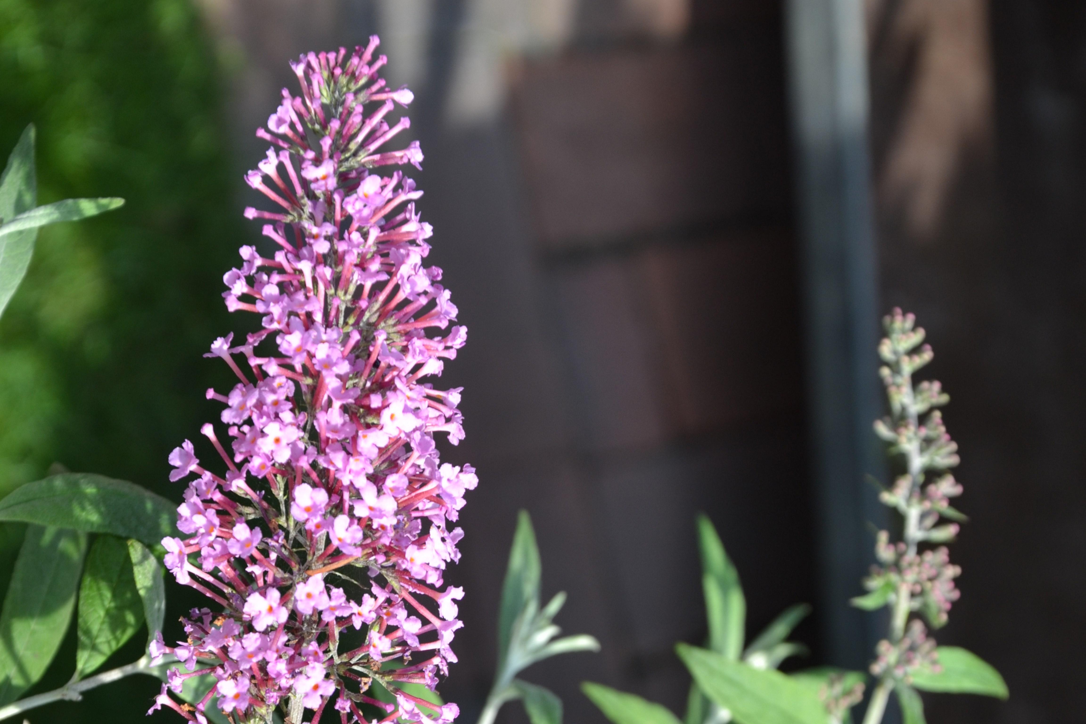 Schmetterlingsstrauch, Sommerflieder (Buddleja) Vom Duft und Nektar der weißen, rosa, roten, blauen und violetten Blütenrispen werden bis in den Spätsommer Bienen und Schmetterlinge angezogen. Diese Pflanze blüht prächtig vom Sommer bis zum Herbst.