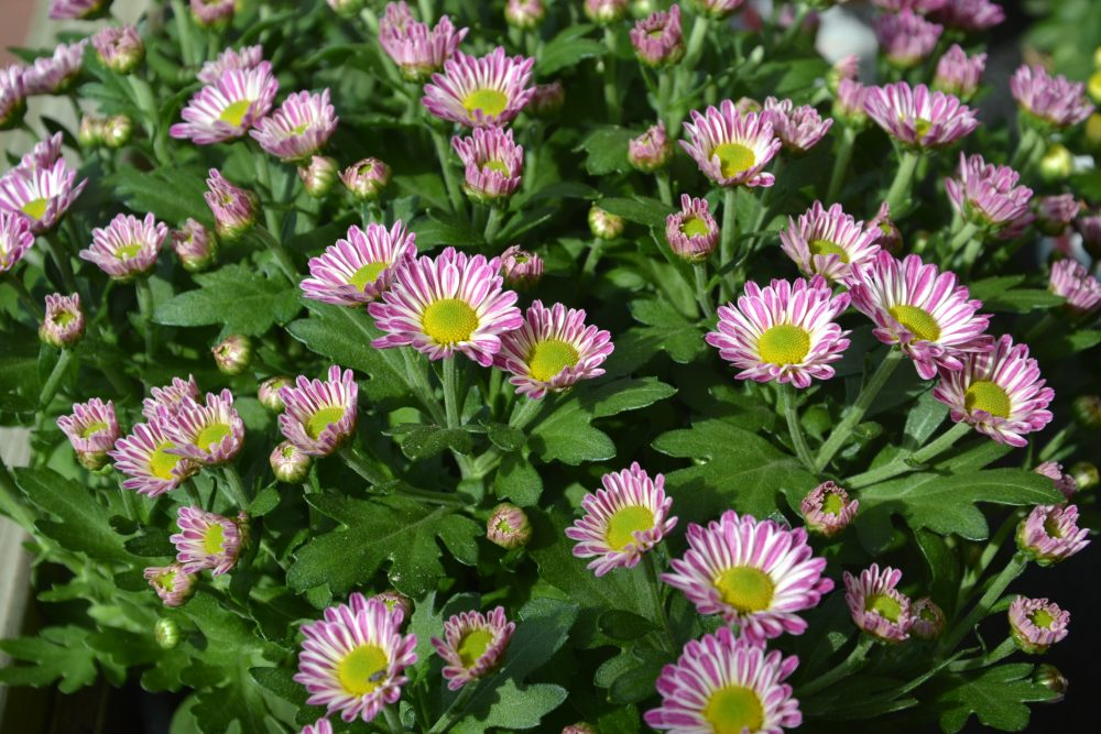 Chrysanthemen, rosa-weiß