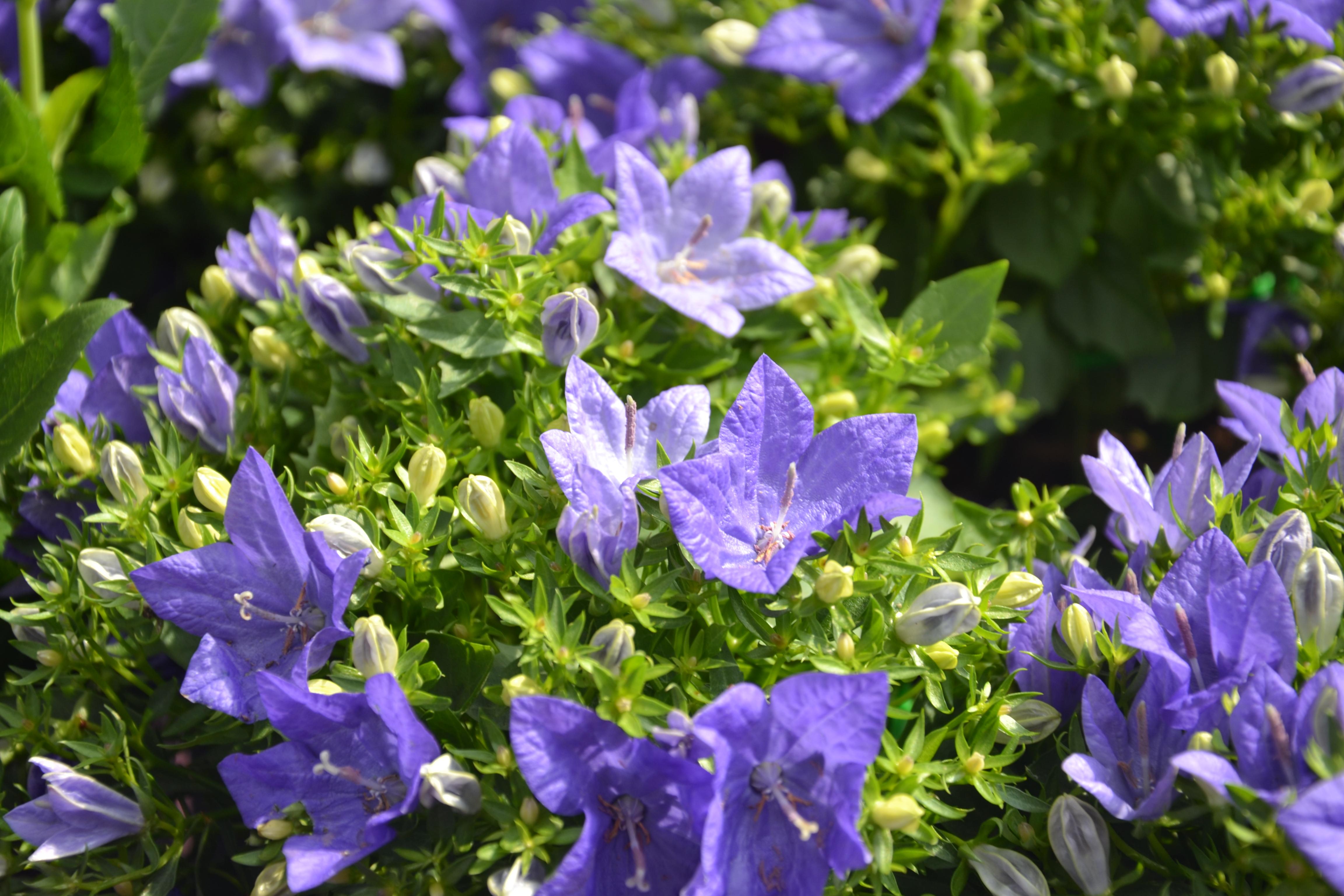 Glockenblume (Campanula) Die Glockenblume kommt in sehr vielen Größen und Gestalten vor. Sie eignet sich hervorragend als Bodendecker, für Stein- oder Wildgärten. Glockenblumen sind hübsch, robust und pflegeleicht. Sie blühen über einen langen Zeitraum hinweg.