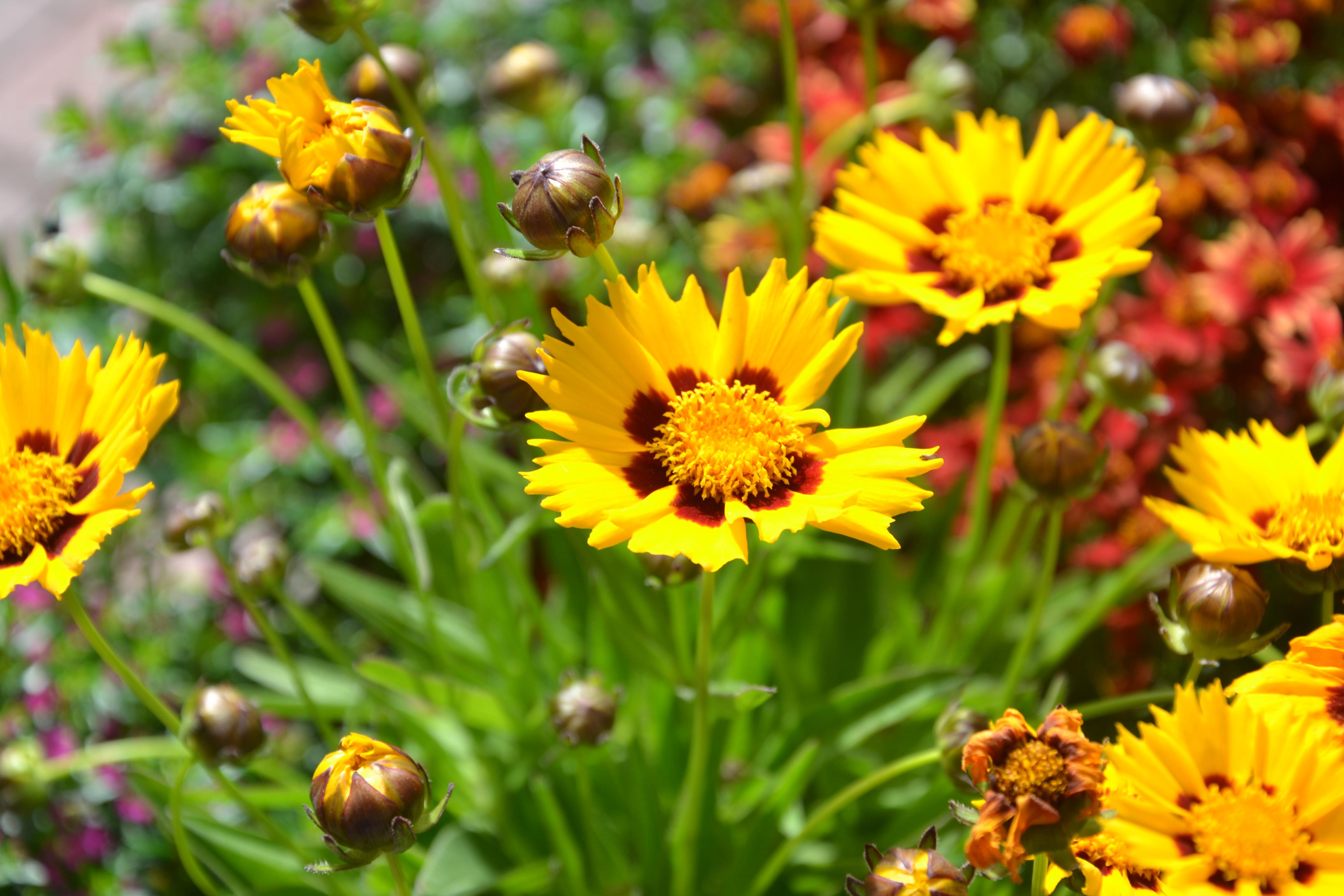 Mädchenauge (Coreopsis) Die Blütenblätter von Coreopsis grandiflora 'Sonnenkind' sind an den Rändern ausgefranst. Ab Juli blüht die Staude bis in den Frühherbst hinein. Bienen und Hummeln suchen sich hier ihre Nahrung.