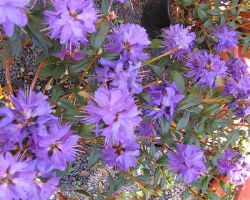 Azalee lila Gletschernacht