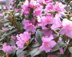 Rhododendron praecox – Vorfrühlingsalpenrose