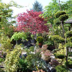 Japanischer Ahorn in verschieden Farbvarianten in Naturstein Kombination